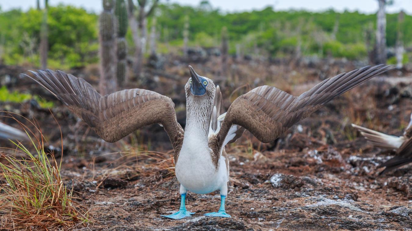 Piquero camanay o pájaro azul en Islas Galápagos de Ecuador