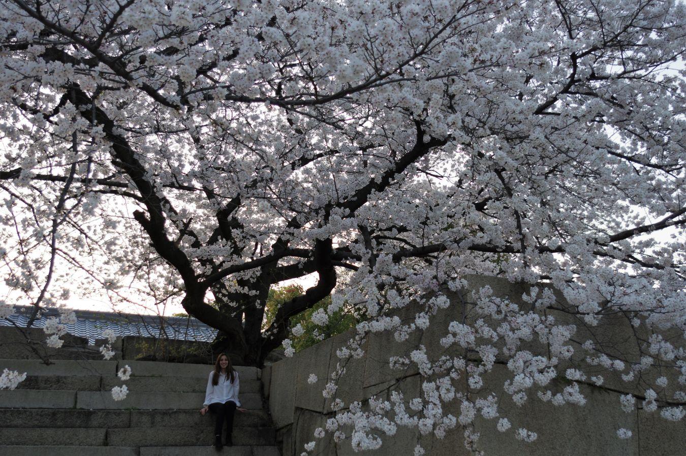 Japón en primavera durante las semanas de sakura