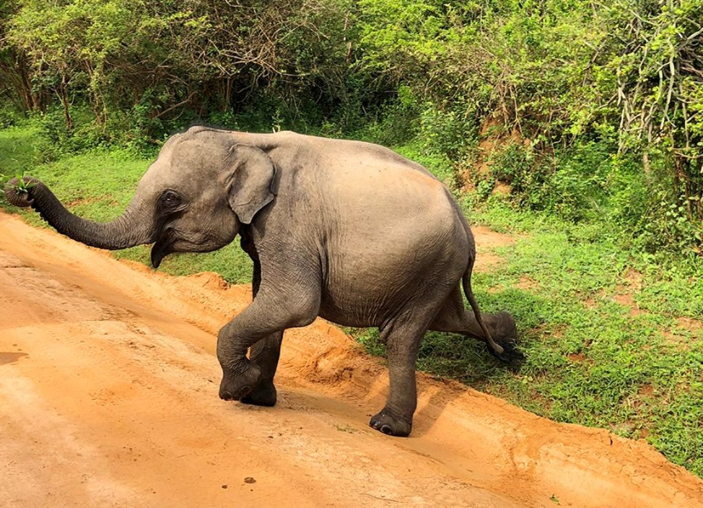 Elefante paseando por un camino en Sri Lanka