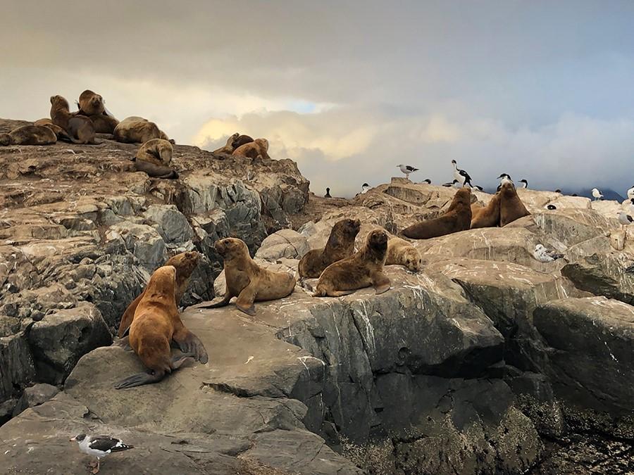 Leones marinos en el Canal de Beagle en la Patagonia argentina