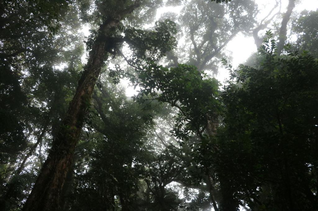 Copas de los árboles en Bosque nuboso de Monteverde en Costa Rica