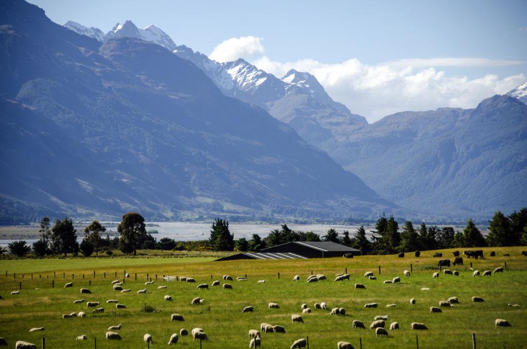 Ovejas pastando en las montañas de Nueva Zelanda