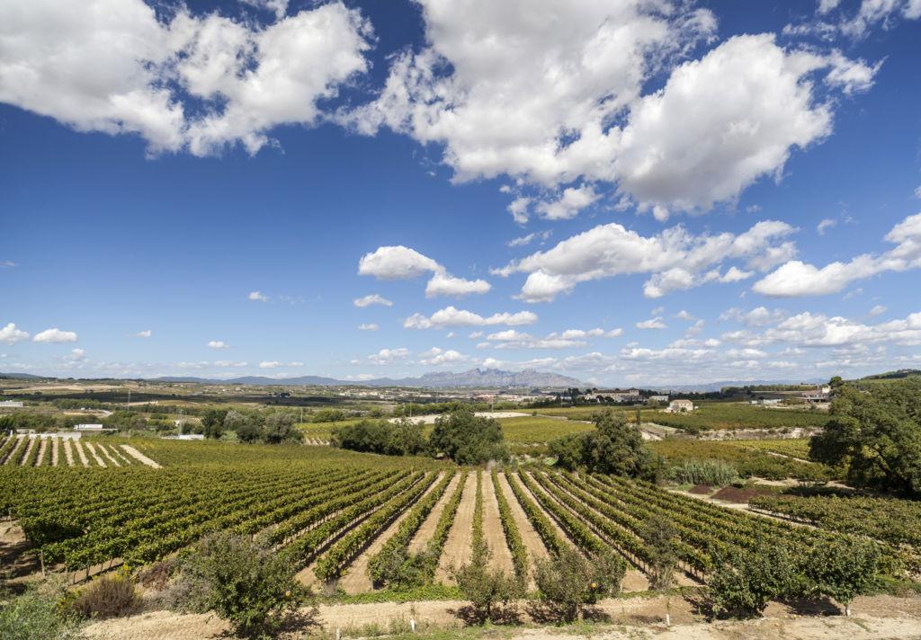 Paisaje de viñedos en el Penedès Cataluña España