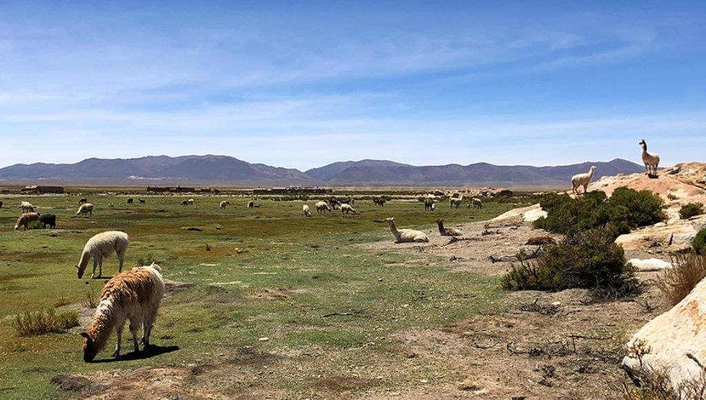Llamas en el Bofedal de Sora del Salar de Uyini Bolivia