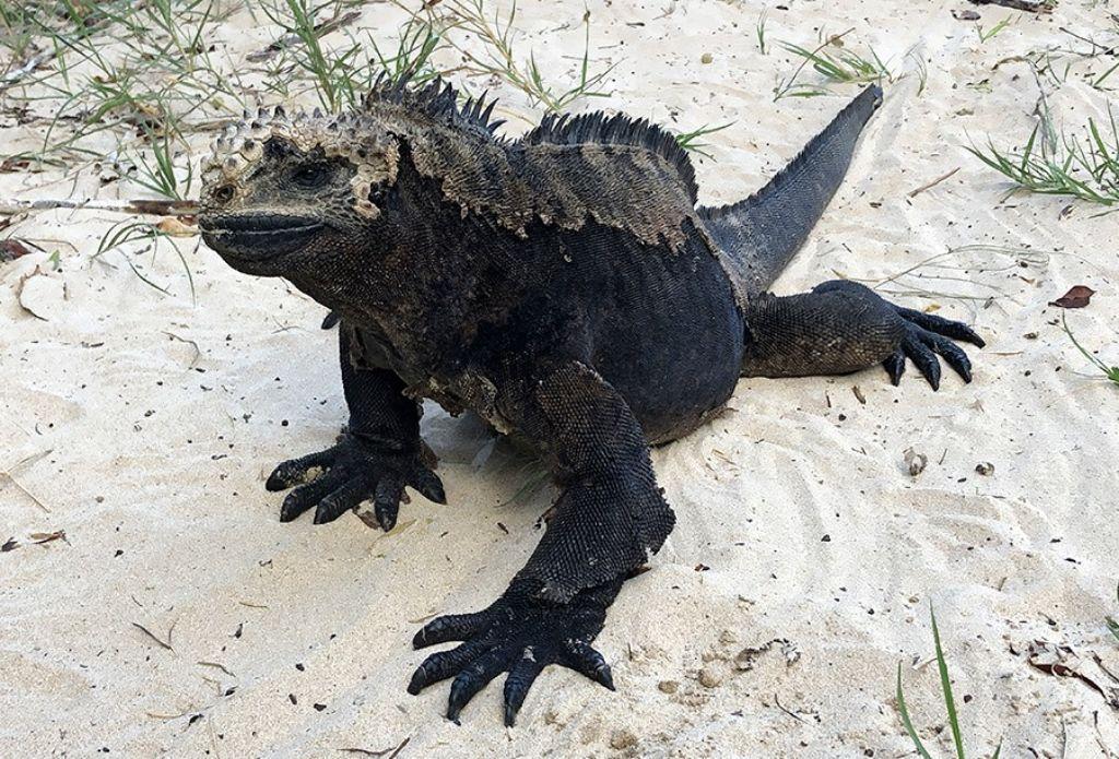 iguana gigante islas galapagos