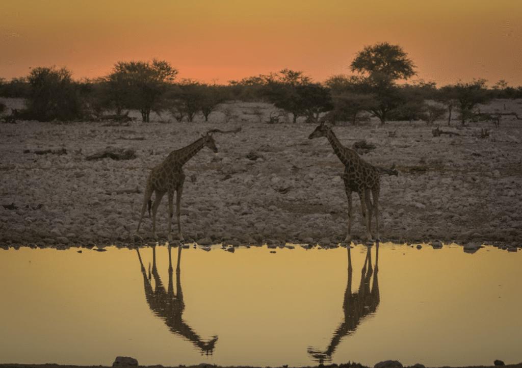 Girafas, lago y la Sabana  atardecer en África