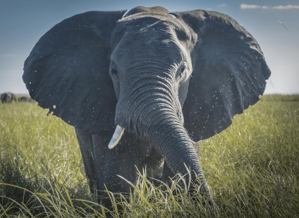 elefante de frente sabana africa