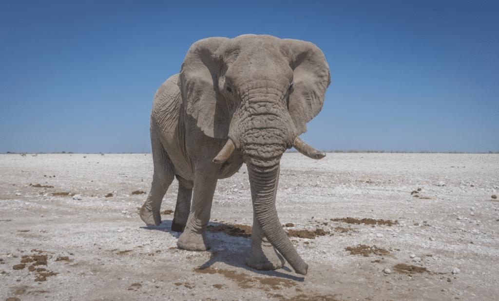 elefante con colmillos caminando en africa