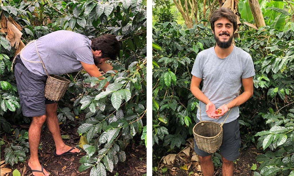 chico recogiendo café en eje cafetero colombia