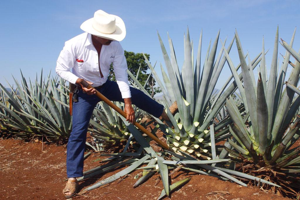 bebidas mexicanas tequila agave