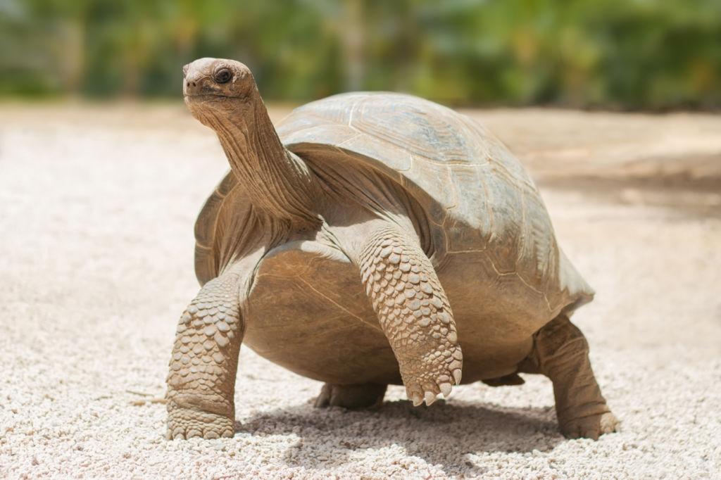 tortuga gigante isla rodrigues