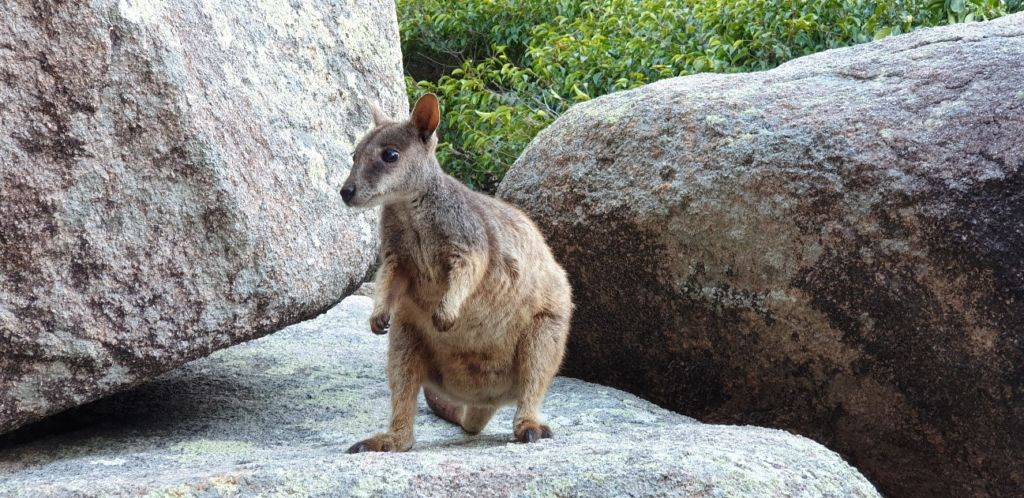 wallaby magnetic island
