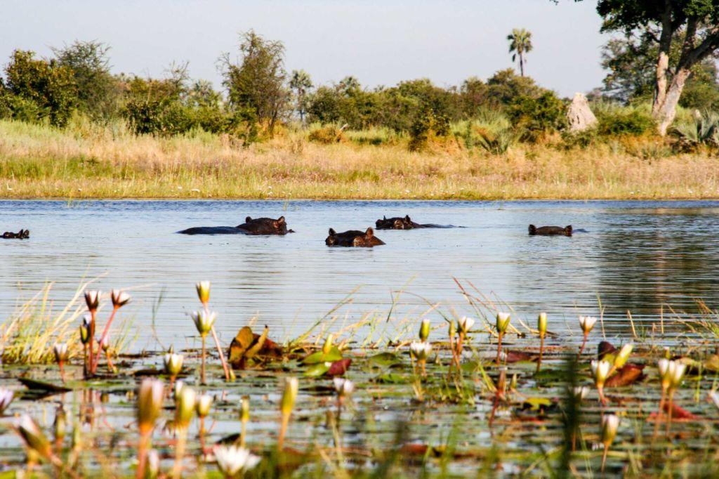 hipopótamos safari viajar a Botsuana