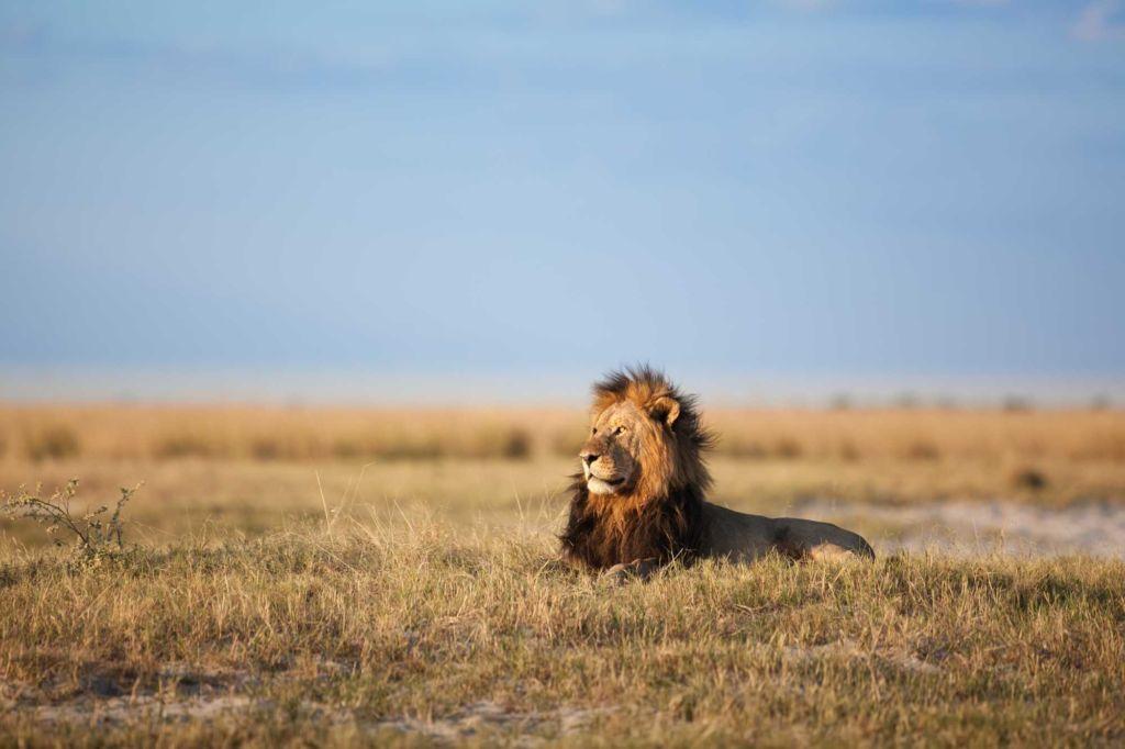 León melena negra de Botsuana