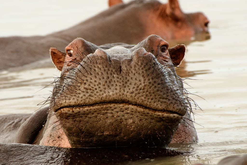 hipopotamo áfrica