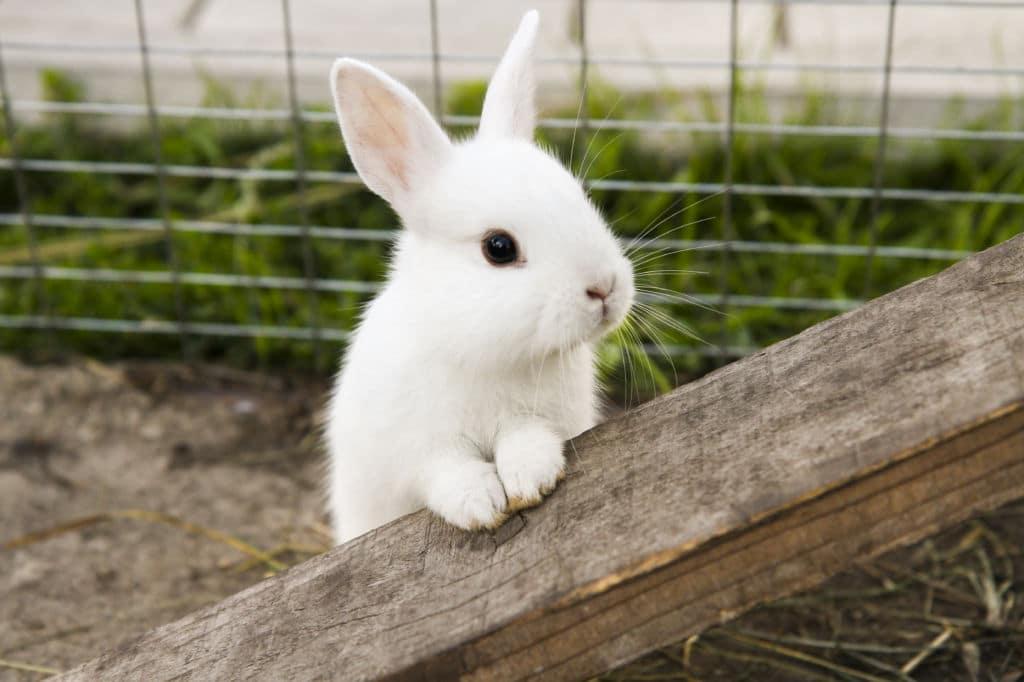 white rabbit conejo blanco Inglaterra creencias de buena suerte