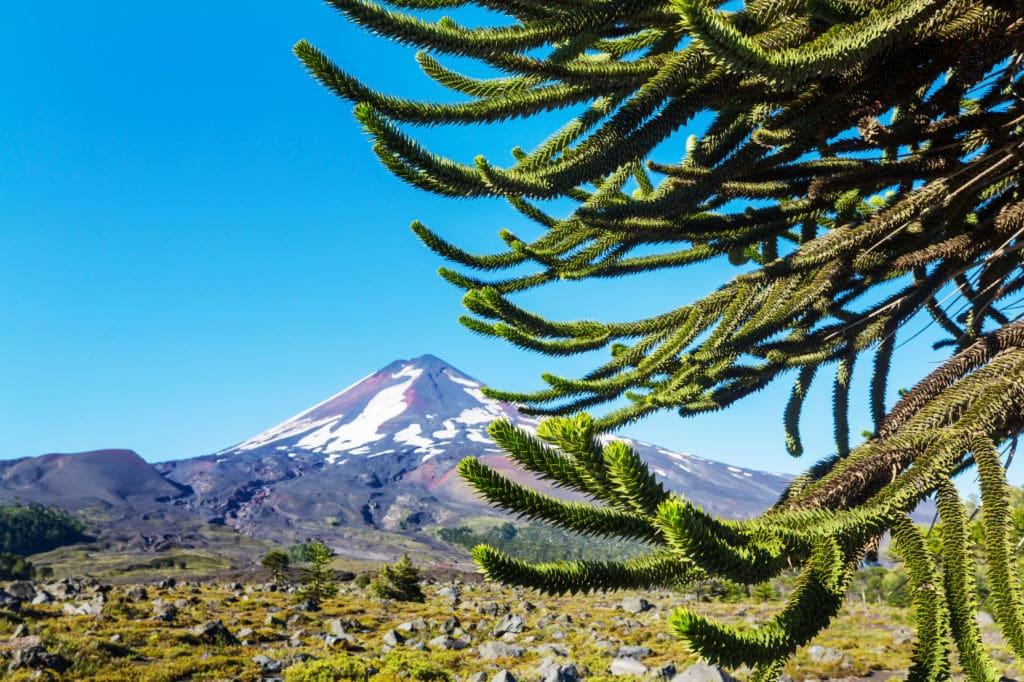 árboles emblemáticos Chile araucaria