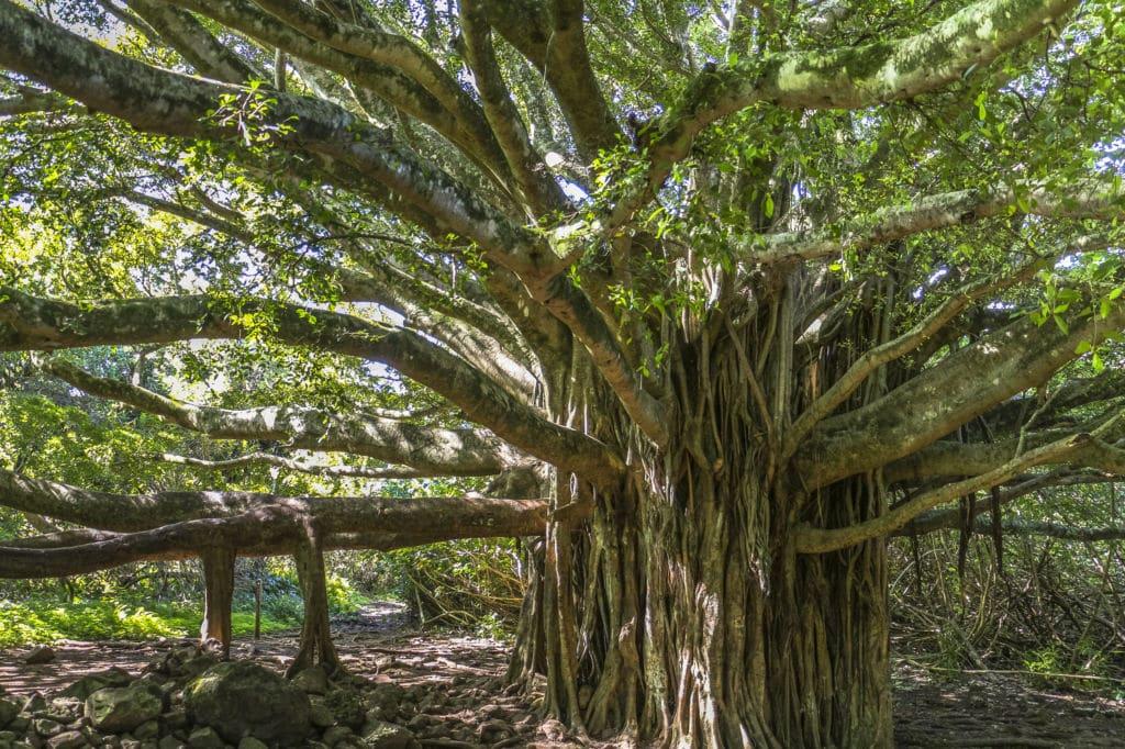 baniano de la India  árboles emblemáticos