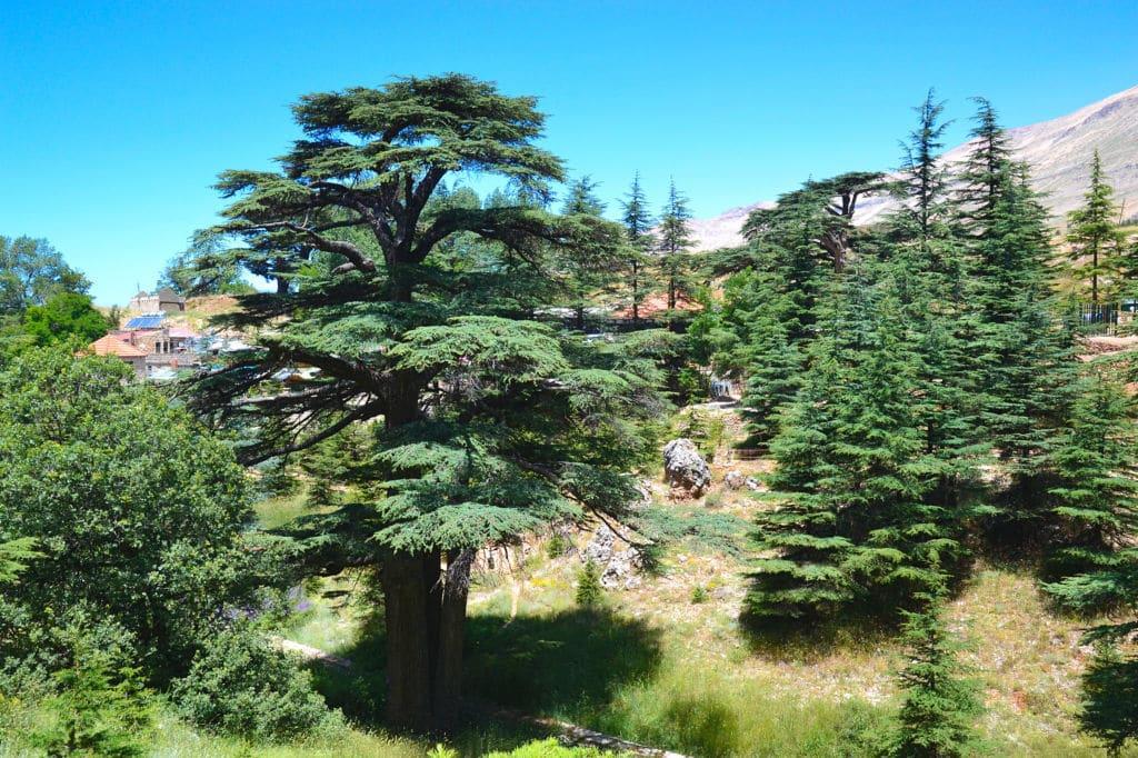 cedro árboles emblemáticos Líbano