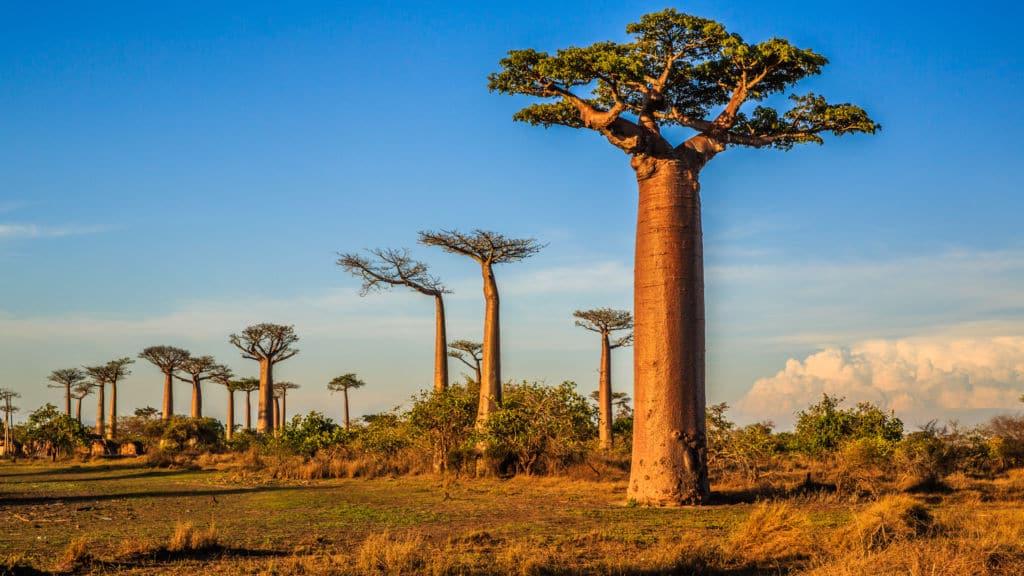 árboles emblemáticos baobab de senegal