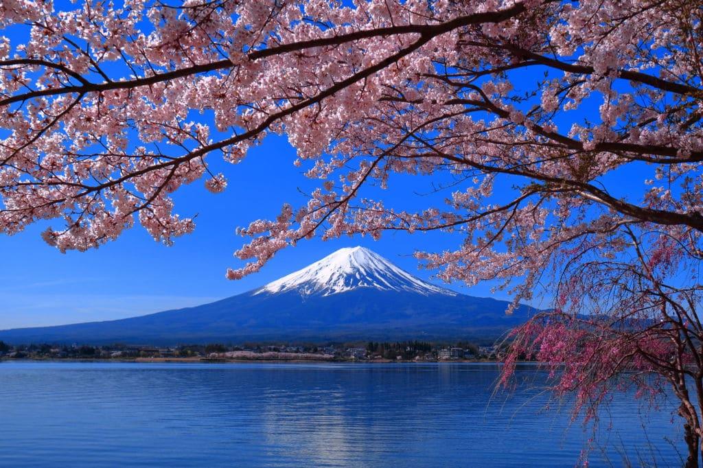 cerezo japonés árboles emblemáticos japón