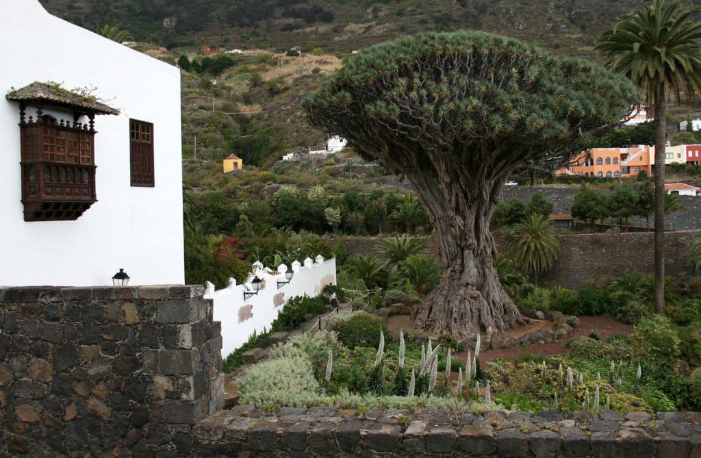 árboles emblemáticos drago Canarias tenerife