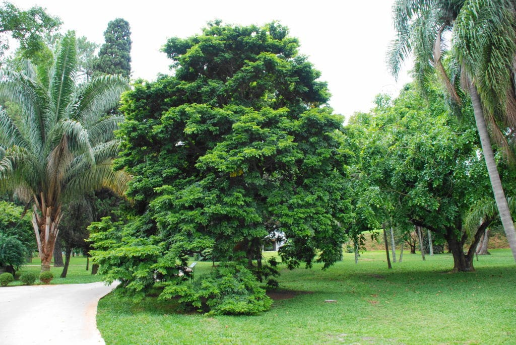 caesalpinia echinata   etimología de los países Brasil