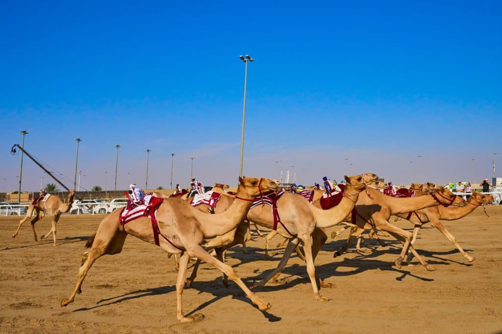 deportes insólitos carreras de camello en el Golfo Pérsico