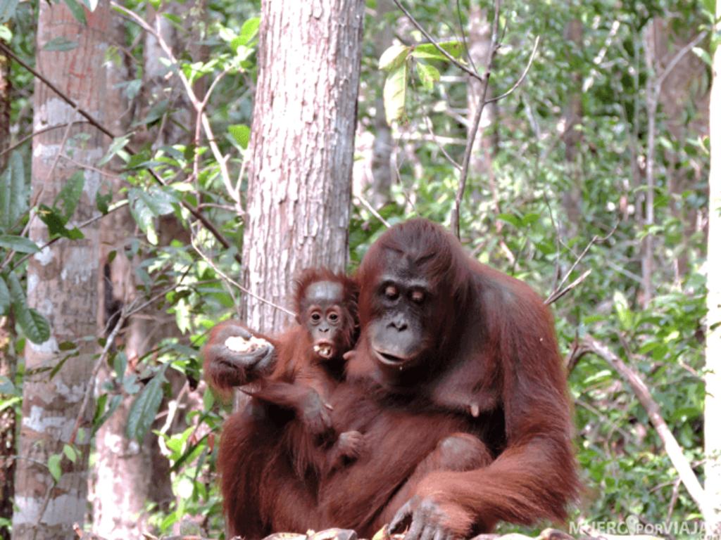 Muero por viajar 15 días por Indonesia orangutanes