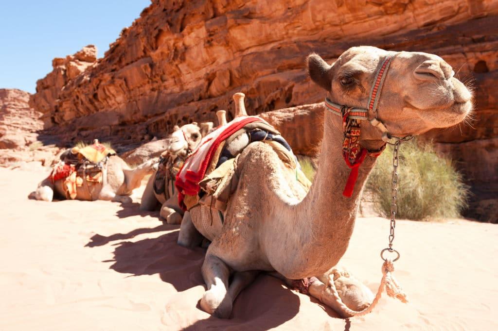 Camello es seguro viajar a Jordania. Consejos, visado y seguro de viaje.