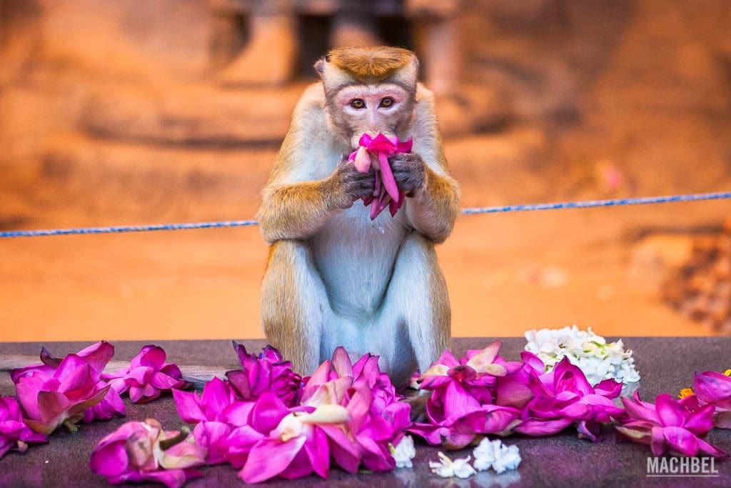 mono lugares que visitar en Sri Lanka