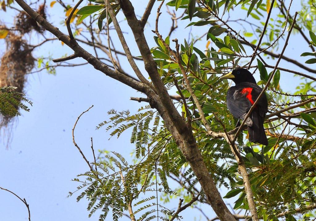 pájaro en Paraguay seguro de viaje para Paraguay