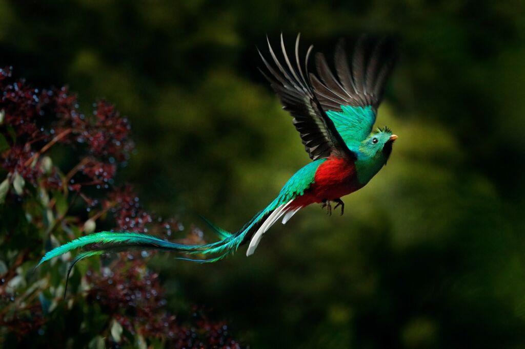 quetzal, pájaro que puedes ver en la naturaleza