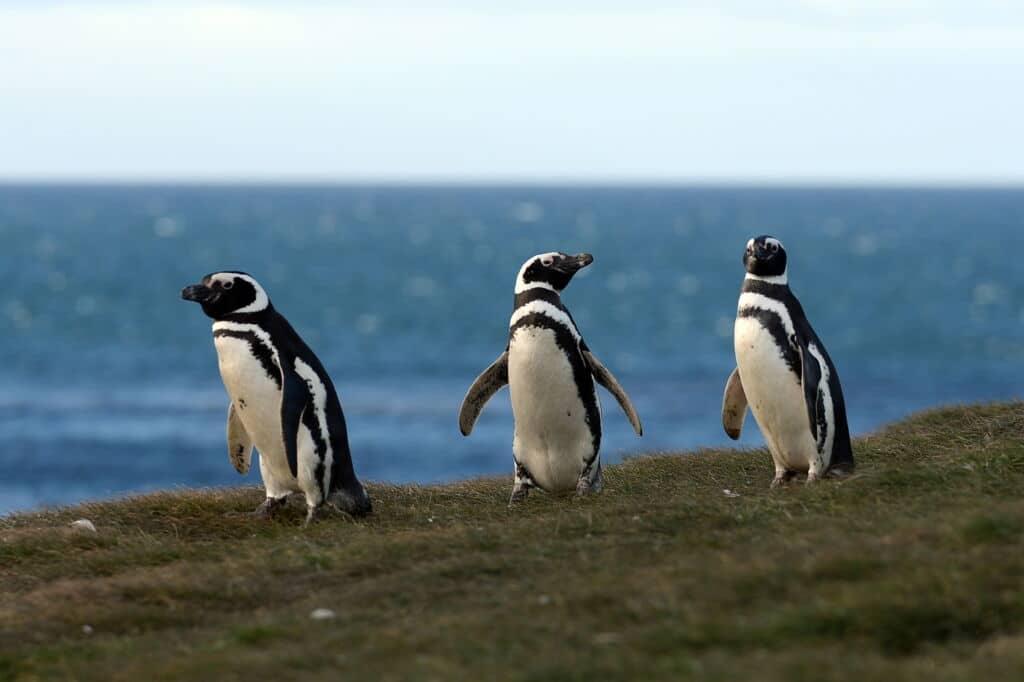 ver pingüinos rey en Chile, experiencia única